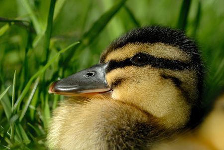 loveable: Extreme macro closeup of Mallerd duckling against Spring foliage