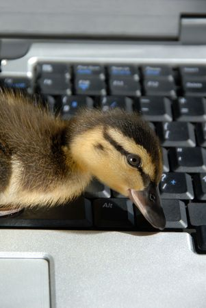 maybe: Closeup of Mallerd duckling pecking on computer keyboard. Does this give new meaning to hunt and peck typing? Maybe!