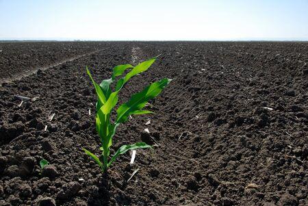 waterbesparing: Lone groene maïs fabriek in uitgedroogd, droog, gebied; waterbehoud concept.