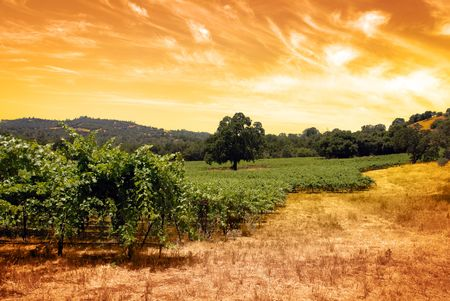 Green grape vines under oak tree and hand toned tobacco sky.