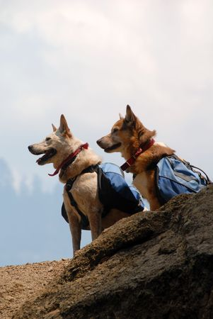 red heeler: Two dogs with backpacks paused while hiking on a mountain trail. Stock Photo