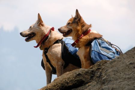 Two dogs with backpacks paused while hiking on a mountain trail. Stock Photo