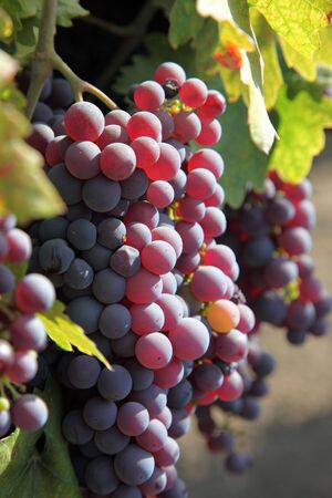 Red wine grapes ripening in the sun, still on the vine in Northern California, green leaves. Stock Photo - 5586709
