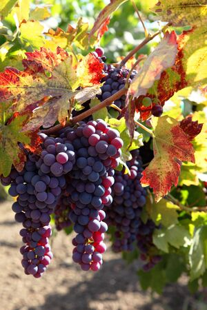 Red wine grapes ripening in the sun, still on the vine in Northern California, Autumn leaves.