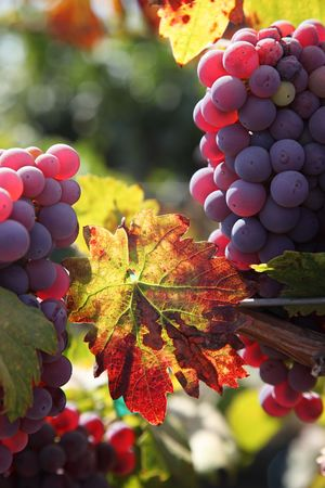 Backlit red wine grapes ripening in the sun, still on the vine in Northern California, autumn leaves. Stock Photo