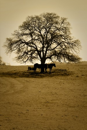 Pastoral view of Horses resting under bare Winter oak tree, fog in backround. photo