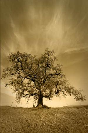 cirrus: Beautiful Oak Tree in pasture under cirrus fair weather clouds.