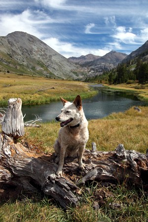 emigrant: Red heeler Australian Cattle Dog posing on fallen tree in mountain pasture, river, meadow, peaks, Summer sky behind, Emigrant Wilderness, Sierra Nevada Range, California.