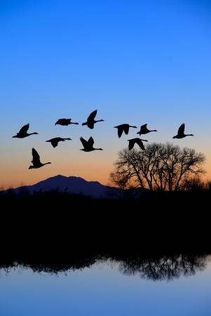 ocas: Gansos canadienses volar sobre ribereños, piscina, árboles desnudos en invierno, pico de la montaña, el azul noche.