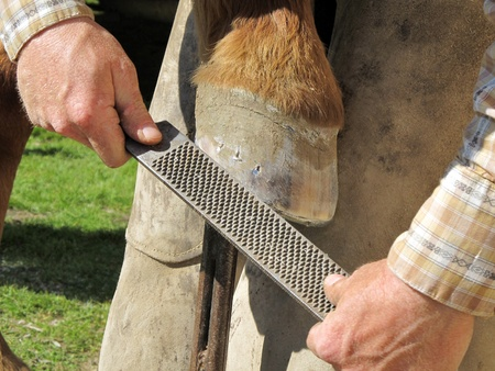 Blacksmith, or equine farrier, fits a horse shoe to a horse photo