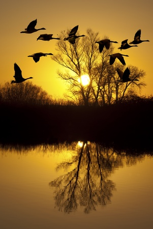 Canadian geese silhouette at sunset, over riparian pond, San Joaquin Delta, California.