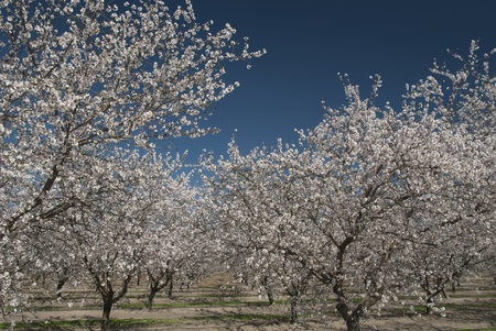 Almond trees in Spring bloom, San Joaquin Valley, California. Stock Photo