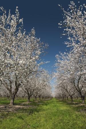 san joaquin valley: Almond trees in Spring bloom, San Joaquin Valley, California. Stock Photo