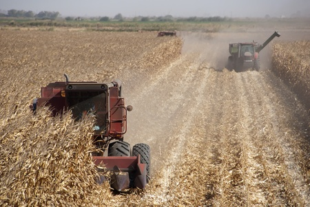 cosechadora: Combine el maíz la cosecha, el Delta de San Joaquín, California. Foto de archivo