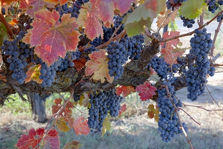 Red varietal wine grapes on vine, ripe for harvest.