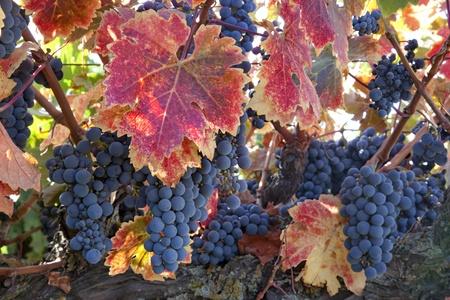 Red varietal wine grapes on vine, ripe for harvest.