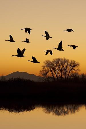 bandada de p�jaros: Silueta de gansos canadienses en vuelo al atardecer sobre refugio de vida silvestre, San Joaquin Valley, California.