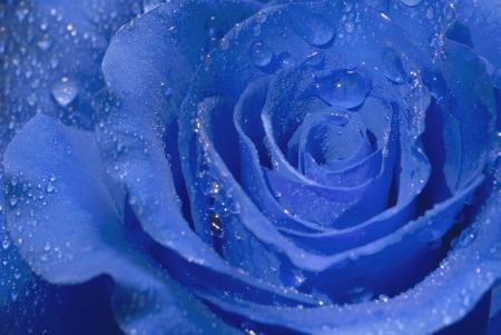 青いバラのクローズ アップは、露の滴で覆われています。