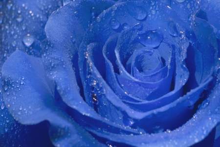 Closeup of a blue rose covered with dew drops.