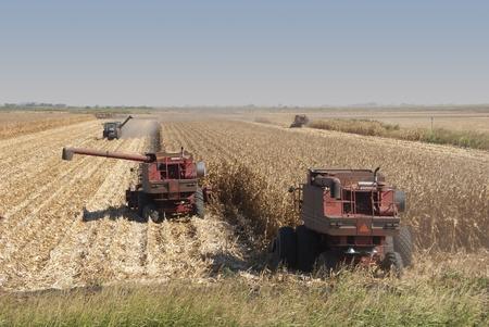 Combines harvest dry corn.