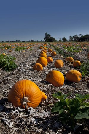Rows of orange pumpkins in agricultural field. photo