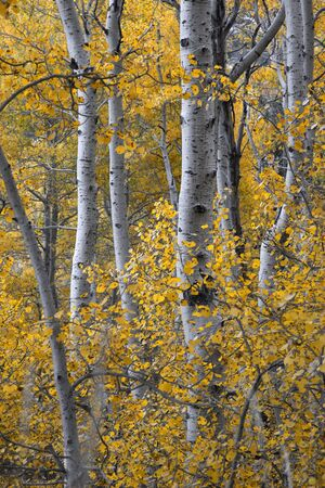 Natural Aspen woodland, Fall, Eastern Sierra Nevada, California photo