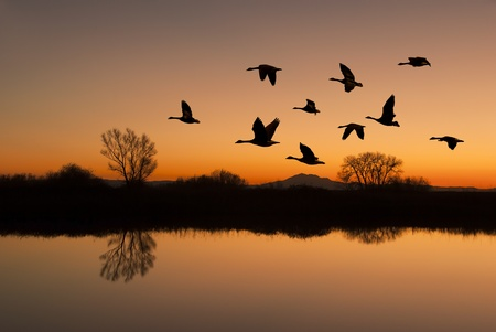 flying geese: Silhouetted Canadian Geese flying at sundown over quiet Winter pond on wildlife refuge, San Joaquin Valley, California Stock Photo