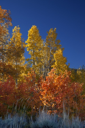 Vibrant yellow, orange, and red Autumn Aspens under blue sky, deeply saturated colors, Sierra Nevada Range, California photo