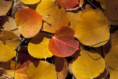Yellow Autumn Aspen leaves on forest floor, natural view, Sierra Nevada Range, California photo