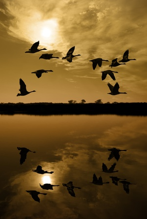 san joaquin valley: Silhouetted Canadian Geese flying at sundown over quiet Winter pond on wildlife refuge, San Joaquin Valley, California Stock Photo