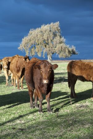 beef cattle: Limousin cattle on California Winter range.