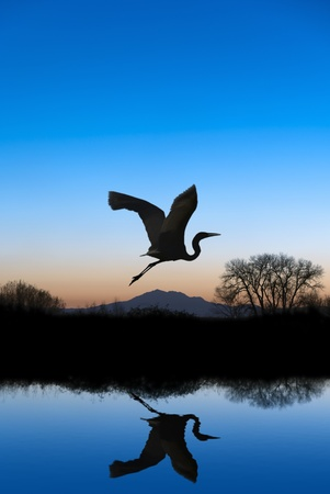 migratory birds: Silhouetted Snowy Egret flying at sundown over quiet Winter pond on wildlife refuge, Mount Diablo in bacground, San Joaquin Valley, California