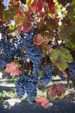 수확 잘 익은 포도 나무에 레드 품종의 와인 포도.