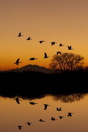 ocas: Siluetas de los gansos canadienses que vuelan a la puesta del sol sobre el estanque de invierno tranquilo en refugio de vida silvestre, Valle de San Joaqu�n, California