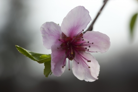 peach blossom: Closeup of peach blossom flower in Spring orchard. Stock Photo
