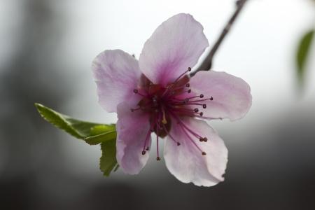 flor de durazno: Primer plano de flor de flor de durazno en el huerto de primavera.