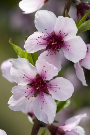 peach blossom: Closeup of peach blossoms flower in Spring orchard.