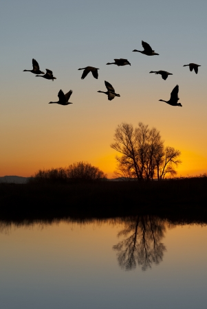 Silhouetted Canadian Geese flying at sundown over quiet Winter pond on wildlife refuge, San Joaquin Valley, California Archivio Fotografico