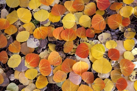 autumn colour: Close view of deep red Aspen leaves on forest floor, Sierra Nevada Mountains, California