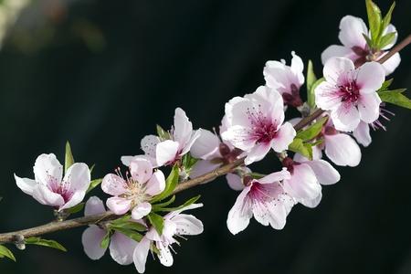 flor de durazno: Primer plano de flor de durazno en el huerto de flores de primavera. Foto de archivo