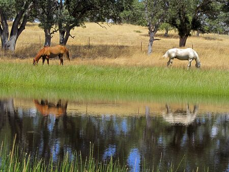 Grazing ranch horses reflected in Summer pond, copy space between animals.