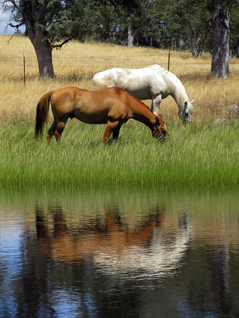 Grazing ranch horses reflected in Summer pond.