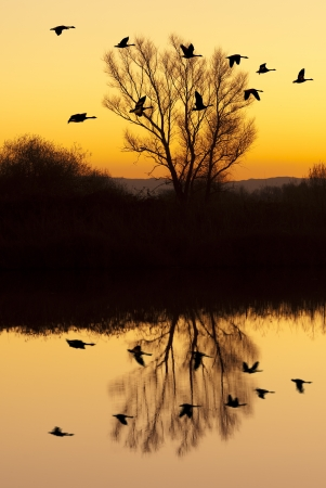 refuge: Silhouetted Canadian Geese flying at sundown over quiet Winter pond on wildlife refuge, San Joaquin Valley, California Stock Photo