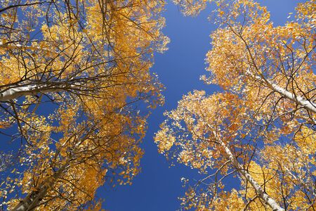 Yellow Autumn Aspen trees, sky view, Sierra Nevada Range, California photo
