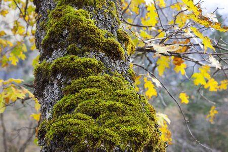tree detail: Moss on tree trunk, Autumn, Yosemite Valley, Yosemite National Park, USA