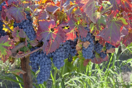 Red varietal wine grape clusters, on the vine, Autumn harvest time, California vinyards. photo