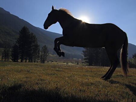 turned out: Silhouette of hobbled horse hopping turned out in mountain meadow, heavy dew on grass. Stock Photo