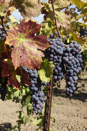 Red varietal wine grape clusters, on the vine, Autumn harvest time, California vinyards