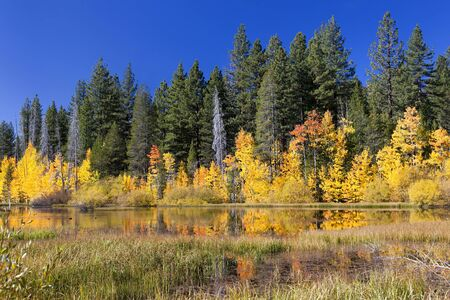 Reflection of yellow Autumn Aspen trees, fall, Sierra Nevada Range, California photo