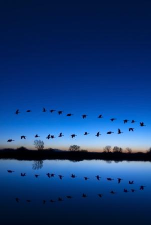 ocas: Reflexión de gansos canadienses vuelan sobre refugio de vida silvestre en una tarde azul, Valle de San Joaquín, California
